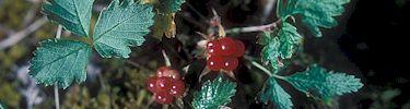 Nagoonberries.