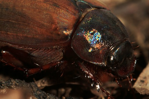 Christmas Beetle: Look closely at the hair on the body and legs, the segmented legs, the texture of the head and body and the iridescence of color.