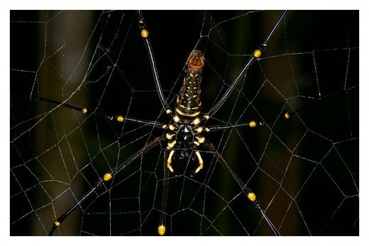The colors on this spider are quite striking, especially the yellow. The yellow on the body gives it an almost skeletal appearance (like ribs).