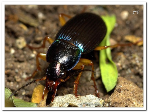 Beetle: Notice the segmented antenna, the texture of the body, the barbs on the legs, the mandibles and the iridescent color.