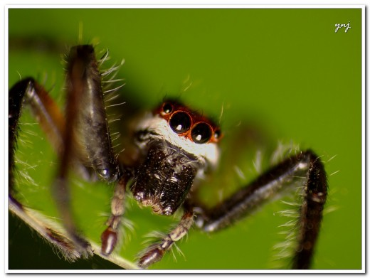 Jumping Spider: This spider has layers of color that is made more apparent in the head-on view.