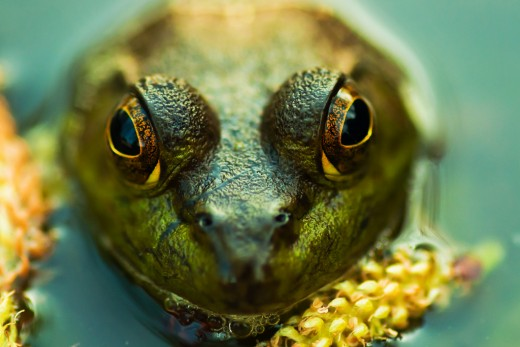Frog: Check out the colors and variations of colors in the eyes and skin of this frog.