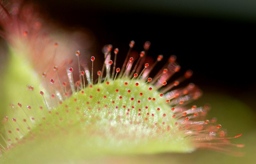 Drosera: This carnivorous plant, dewdrops, looks even more interesting close up.