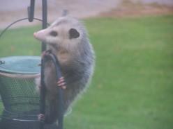 Possum Playin'