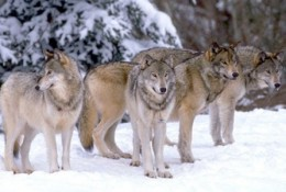 Wolf pack in the wild