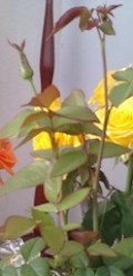 All is possible, this is the shoot from my single stem rose.