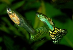 Livebearers - tropical fish that get pregnant