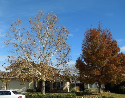 The bare sycamore tree that lives next door to me.