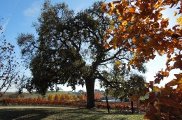 The oak, which is just beginning to lose its leaves, still stands green in contrast to its neighbors and the vineyard in the background.