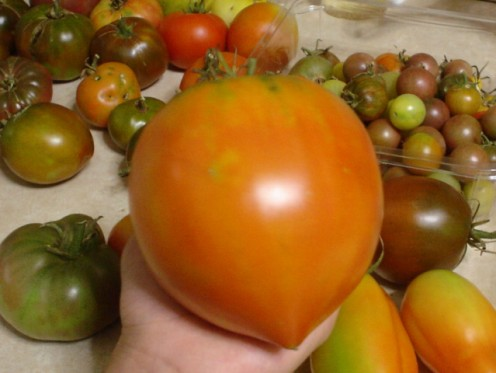 Red Oxheart tomato is delicious and huge, compare its size to those in the background.