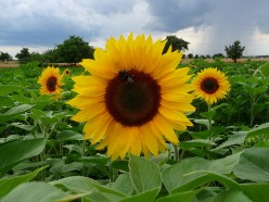 Growing Sunflowers Organically