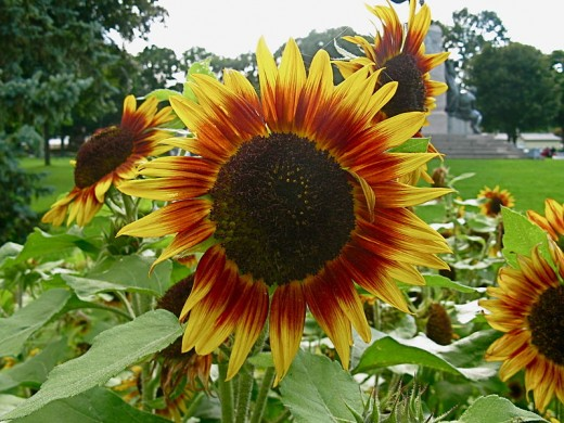 Sunflowers come in a range of different colors including this two-tone red and yellow variety.