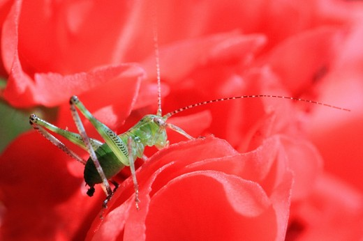 Baby Grasshopper Eating Rose