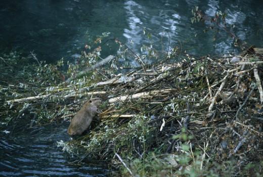 American Beaver (Castor canadensis) building dam, Rocky Mountains, North America