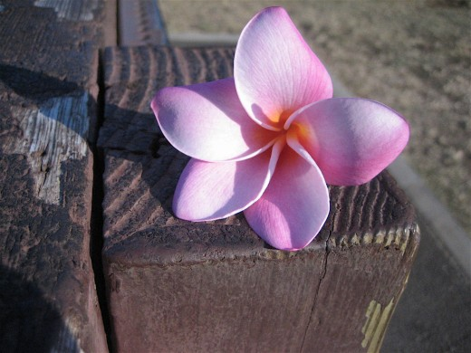 Plumeria Flower from Diamond Head