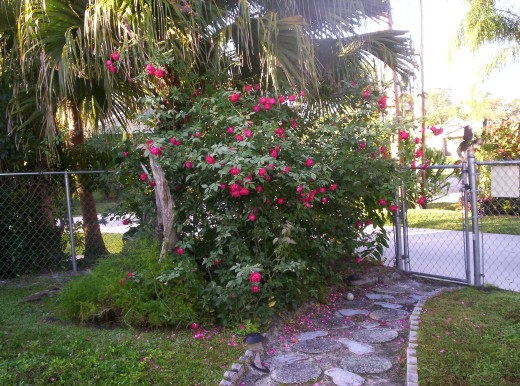 This is how my Red Rose bush looks now.