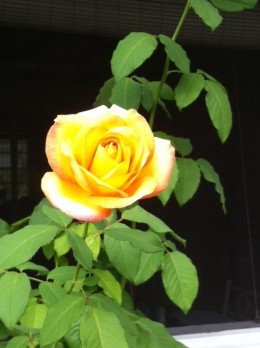 This Yellow Rose refuses to die.  It is a survivor!