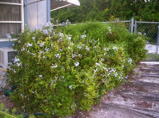 This Plumbago Plant was moved and relocated, but it survived.