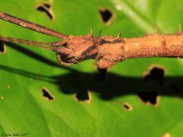 stick-insect from Papua