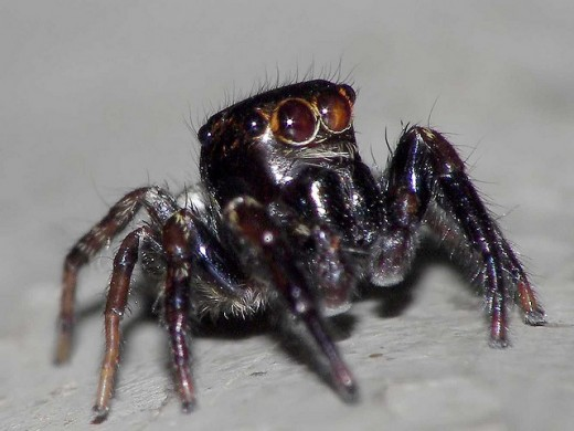 This spider looks interesting with a head that appears to be square in shape and the little furs that are covering its body so up well against the contrasting color.
