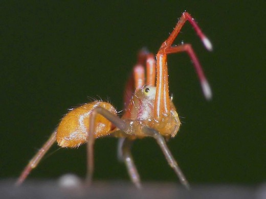 An atypical stance for a spider, as viewed from the side.