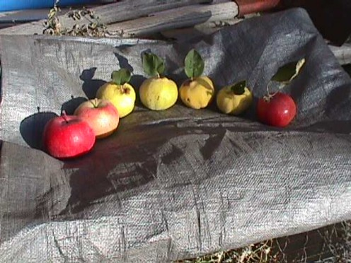 An apple-quince rainbow.