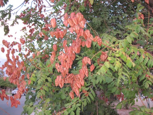 This is the exact same tree as below, but six weeks sooner when the leaves were still green and the seedpods provided the contrasting rust color. Taken October 17