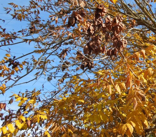 This is the same tree as above, but six weeks later. When leaves became yellow, the pods became a dark brown. Taken November 28.