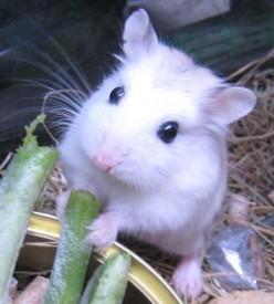 Dwarf Hamster Information
