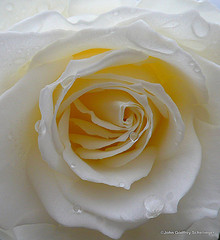 Golden White Rose for my Love from Jhaan Source: flickr.com