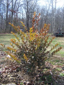 Golden Privet Hedge in Late Fall