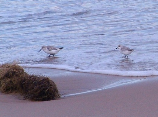 A couple of sandpipers on the shoreline.