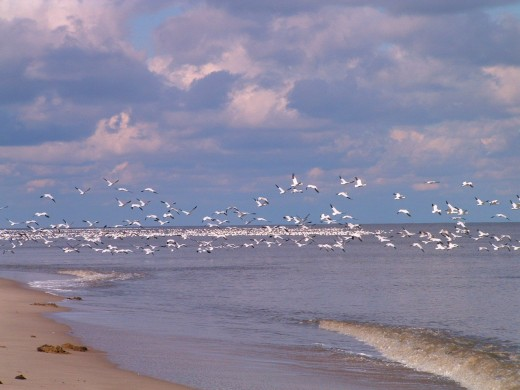 View from the beach. When I would get too close, the geese would disperse and move to a new location on the beach.