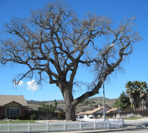 I hope near the end of my life I will be like this strong oak tree, with my fruit scattered to meet the needs of others, while I remain, gnarled and strong, and still able to bear fruit in season for the years I have left.