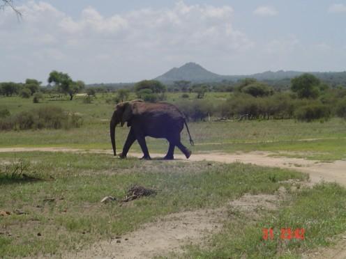 Elephant in Tarangire Park