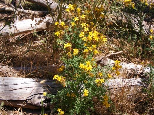 Hypericum Perforatum - Common St. John's Wort