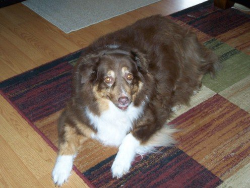 Our Australian Shepherd - Megan