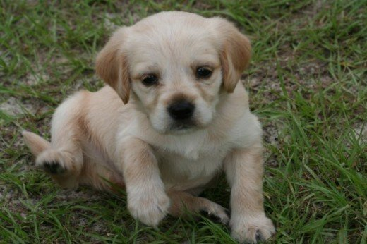 Sandy as a puppy