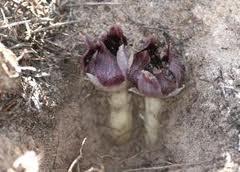 The westren underground orchid.