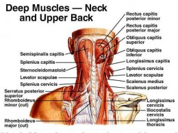 Deep Muscles of Posterior Neck (click to enlarge)
