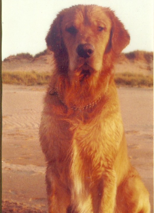 Buck, at 18 months - 95 pounds of beautiful animal. Photo is untouched, taken on a PEI beach.