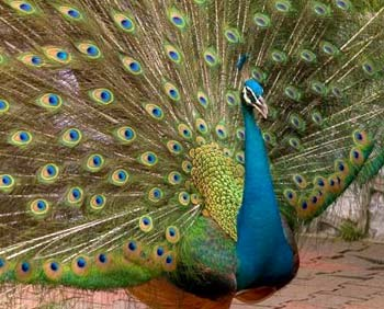 The peacock - national bird of India