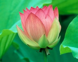The Lotus - the national flower of India