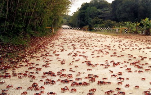 Start of the red crab migration image copyright @ Christmas Island Tourism Association