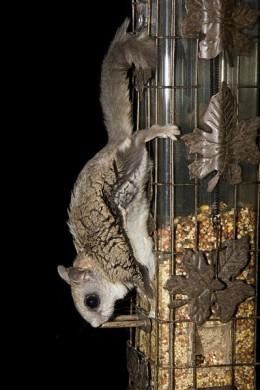 A flying squirrel!
