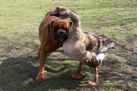 """A """"seeing eye"""" goose helps a blind dog... just heartwarming!"""