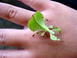 It is easy to see why this insect is called a Leaf Insect.