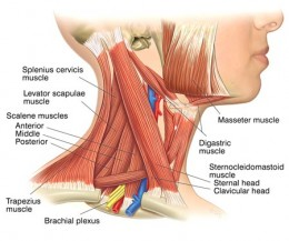 Side View of Neck Muscles (click to enlarge)