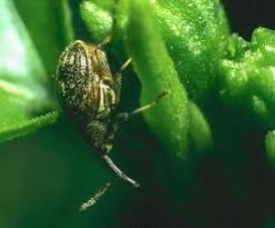 A pepper weevil destroying a green pepper.
