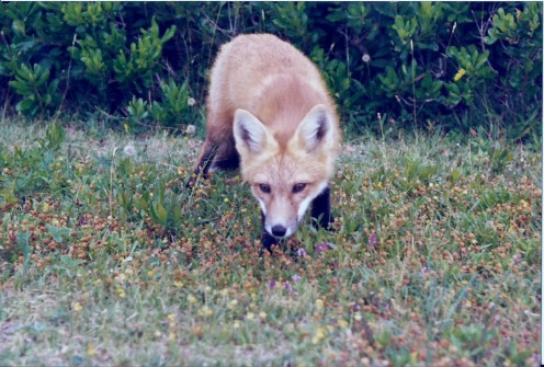 "I ""trained"" this fox in PEI near my cottage. Every day I would walk to the cliff where he and his twin brother lived and just sit still. After about 6 weeks they started coming closer and closer, eventually right to me."